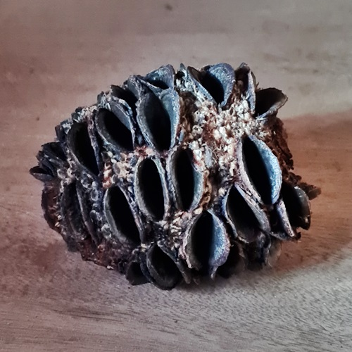Banksia-Zapfen